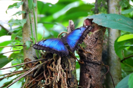 Blue Morpho Butterfly spreads its wings on foliage in a tropical rainforest in Costa Rica. Banque d'images