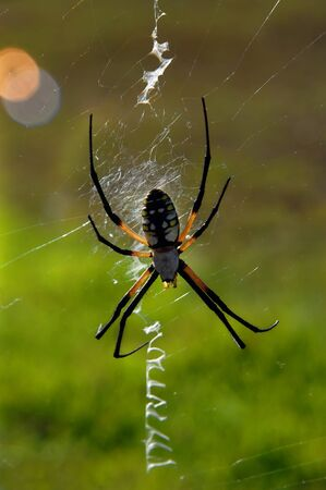 argiope: Argiope, a orb web spider, sits on its large web.  Backlit, its legs look almsot transparent.