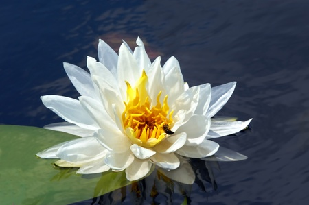 lilypad: Beautiful white lily pad floats on a lake in southern Arkansas   Bee climbs to center of bloom