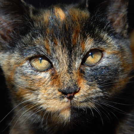 slits: Kitten has unusual coloring of orange, black and brown   Closeup of cats face shows amber eyes narrowed to slits in the bright sunshine