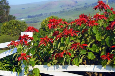 Poinsettias bloom along white, wooden fence row on the Big Island of Hawaii   Kohala Mountains rise in the background and dew forms moisture drops on petals of Poinsettia