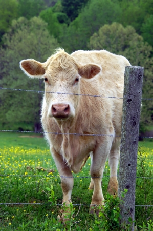Cow stands behind barbed wire fence looking out   Field is green and cow is a white, Charolais  Stock Photo