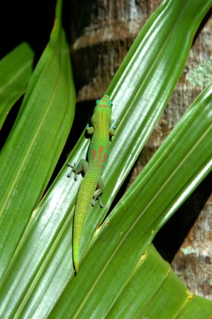 enhances: Big Island gecko crawls across a bright green, palm frond in Hawaii.  Sunlight enhances the geckos brilliant red, green and blue coloring.