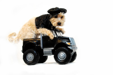 Getaway Car complete with Shitzoo dog weariing black leather jacket, cap and sitting at the wheel of a 4 wheel drive black getaway truck.  Cool dog hangs over the steerig wheel waiting for the getaway. Banque d'images