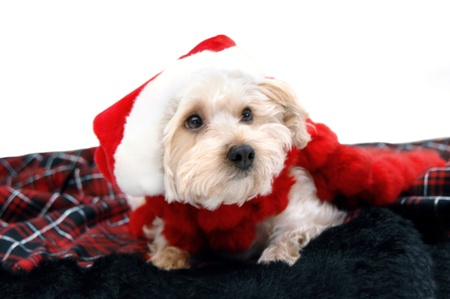 dressup: Adorable silkypoo lays on a fur plaid rug.  He is wearing a red santa claus hat and looking wishfully for Santa Claus.