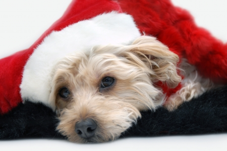 silky terrier: Silkypoo dog wearily lays his head down.  He is tired of waiting on Santa Claus.  Dog is wearing a santa hat and laying on a fur rug.
