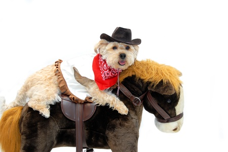 Silky poo wears cowboy hat, vest and bandanna as he rides his pony.  All white background with copy space. photo