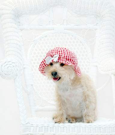 dressup: Red gingham hat sits on cute Silkypoo dog.  The dog is sitting on a white wicker chair.