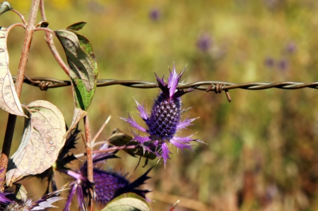 Field in Central Kansas is litered with a purple thistle look-alike.  This Leavenworth Eryngo has one large seed pod.  This one hangs beside a strand of rustic barbed wire. photo