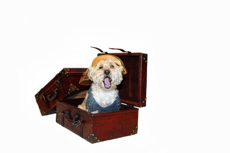 going places: This pooch plans on going places.  She is wearing an old fashioned ladies hat with a beaded collar.  She is yawning sitting inside open suitcase.