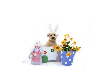 lookalike: Easter Rabbit look-alike rides inside a white wooden wagon decorated with flowers.  Silky Poo is wearing easter rabbit ears. Stock Photo