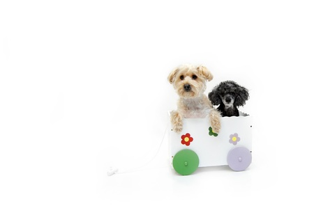 silky terrier: A Silky Poo and a Poodle share the space inside a white, wooden wagon.  The Silky Poo is the product of mixing a silky terrier with a poodle.