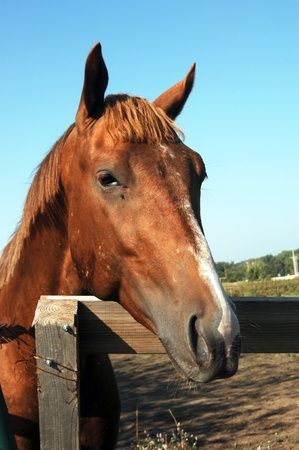 Chestnut colored quarter horse puts his muzzle over a wooden fence as if to ask for help.  Biting flies have left scars and marks on his body.  One fly is biting under his eye. photo