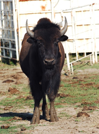 Buffalo with long horns stands with muddy feet in a paddock in Kansas. Reklamní fotografie