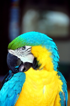 costa rican: Closeup of a Costa Rican macaw shows bird cleaning his feathers.  Brilliant blue and yellow feathers.