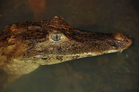 costa rican: Closeup of a Costa Rican crocodile shows his eye wide open.  Partially submerged crocodile floats in murky water.