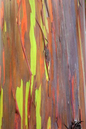 Rainbow eucalyptus tree is sheeding stripes of bark   Colorful wood is fragrant and used in crafts, home remedies and for furniture  photo