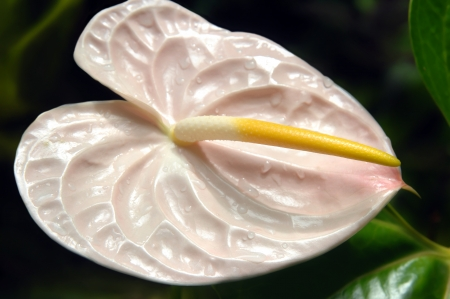 Pink heart-shaped anthurium blooms with yellow sepal in the National Tropical Botanical Garden on the Big Island of Hawaii