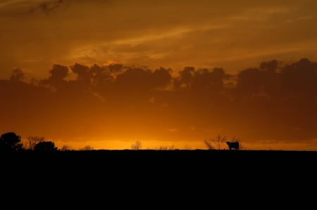 lonliness: Glorious sunset shows silhouette of lone cow as it heads for the shelter of the farm and its barn.