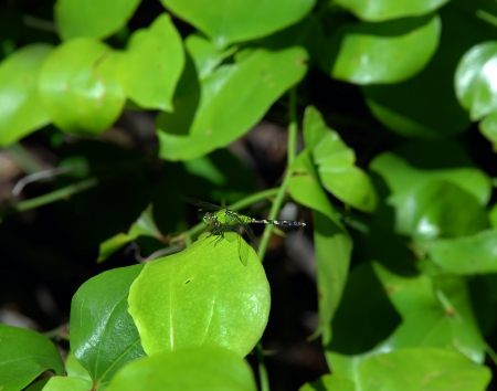 dragonfly: Brilliant green dragonfly rests on the leaf of a vine   Surrounded by green leaves the dragonfly is camouflaged  Stock Photo