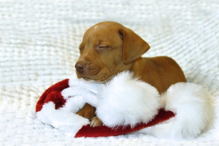 Tiny Golden Retriever puppy lays on his Santa Claus hat.  His eyes are closed and he is afraid he has been too bad for Santa to come visit him so one tiny tear squeezes from his eye.            photo
