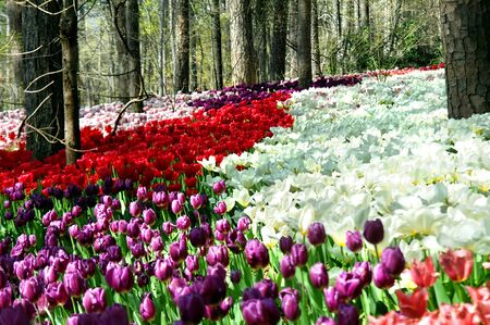 proliferation: Tulips bloom in proliferation in the natural landscape of Garvins Woodland Garden in Hot Springs, Arkasnas   Rows upon rows of red, purple, lilac and striped tulips bloom in the Sping sunshine  Stock Photo