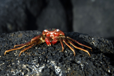 tortured: Crab was caught when tide receeded and was cooked alive on the black lava rock   The crab was literally cooked alive