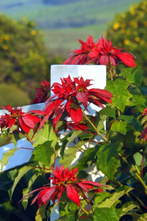 Beautiful poinsettias bloom along white, wooden fence post on the Big Island of Hawaii.  Morning dew has frosted each red petal with a fine mist. photo