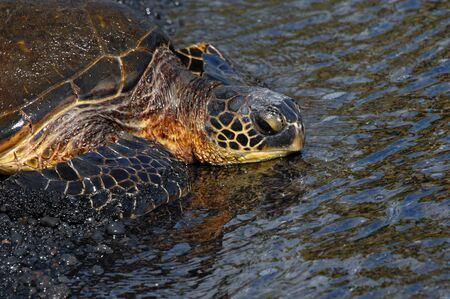 Green sea turtle rests on Unaluu Black Sand Beach on the Big Island of Hawaii.  Its eyes are open and his head rests in the shallows.  Black lava pebbles cling to its flippers.