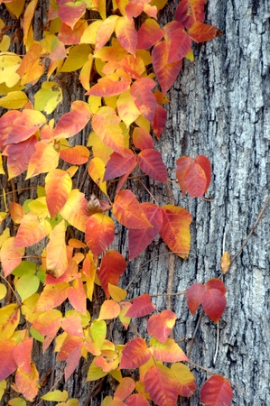 Tree trunk has clinging vine of poison ivy.  Leaves are beautiful in the fall but still can give you a bad case of itchy rash. photo