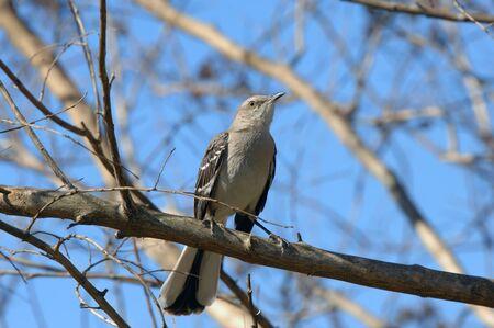De staat vogel van Arkansas, de Mocking Bird, is neergestreken op een ledemaat en wordt geschetst door de blauwe hemel Stockfoto