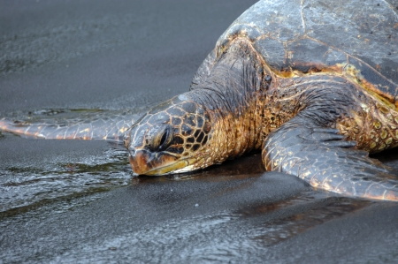 Green sea turtle opens his eyes sleepily as he lays on the black sand of Punaluu Beach on the Big Island of Hawaii    photo