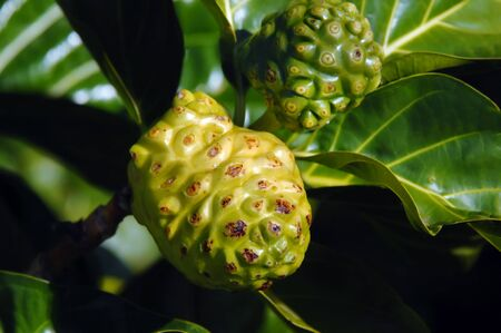 knobby: Noni fruit grows on a tree on the Big island of Hawaii.  Surface is knobby and yellow when ripe.