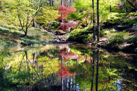 Still waters of reflecting pool mirror Japanese Maple and spring green.  Small waterfall empties into pool at Garvin's Woodland Garden in Hot Springs, Arkansas.