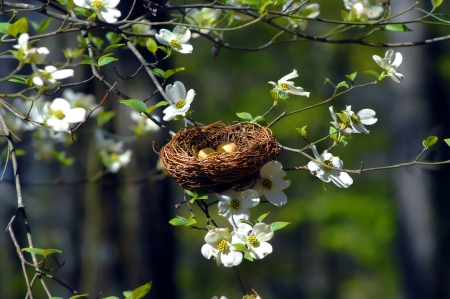 Bird nest nestles in the branches of a blooming Dogwood Tree in Garvin's Woodland Garden in Hot Springs, Arkansas.
