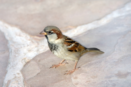 begs: Sparrow sits and begs on the Big Island of Hawaii  Stock Photo