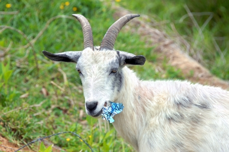 he goat: Billy goat pauses while chewing up a tin can   He is standing in a field of green with a strand of barb wire besides him