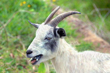 Goat, with long horns, chomps on tin can.  He is surrounded by green grass. photo