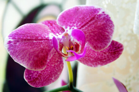 home grown: Beautiful, home grown orchid blooms in window ledge.  Petals are purple with a white and yellow center.
