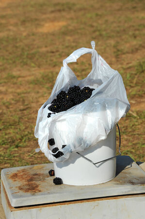 White bucket is full and overflowing with fresh picked blackberries.  Bucket sits on old freezer in Southern Arkansas field.