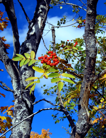 upper peninsula: Red berries are framed by leaves and blue skies.  Fall color has hit the Upper Peninsula Michigan near Houghton. Stock Photo