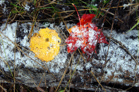 michigan snow: Beginning of winter in Upper Peninsula begins with a light scattering of snow flakes.  Two leaves; one red and one yellow; lay across a rotting log. Stock Photo