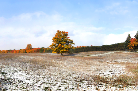 michigan snow: Lone tree in Michigan field turns golden and orange.  Blue sky and forest backs Autumn foliage.