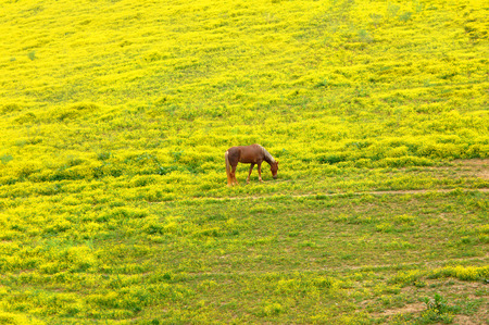 blooded: Full blooded, walking horse crops the new spring grass in a field of bright yellow flowers.