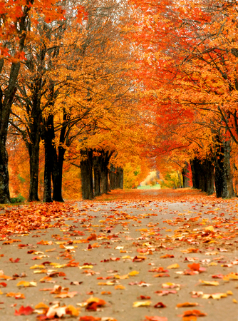 single lane road: Avenue of maples glow with Autumn orange in Harrison, Arkansas.  Single lane road disappears into distance with tunnel of overhanging limbs. Stock Photo