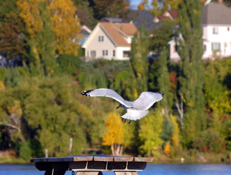 lake front: Picnic table, in City of Houghton Beach Front Park, serves as landing spot for seagull.  Fall foliage colors background.