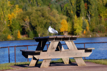 portage: Lone seagull rests on wooden picnic table in Waterfront Park in Houghton, Michigan.  Portage Lake and Fall foliage fill background.