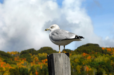 fence post: Seagull perches on rustic fence post in Houghton, Michigan.  Fall foilage fills background in orange, yellow and gold.