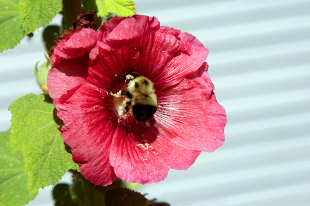 reproducing: Large bee works at collecting pollen from a large hibiscus bloom.  The powdery granules stick to his feet and antennae. Stock Photo