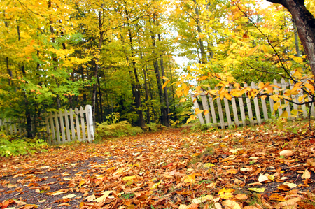 Golden shower of Autumn leaves cover narrow lane.  Low angle image shows white picket fence with peeling paint struggling against the encroaching forest of trees.